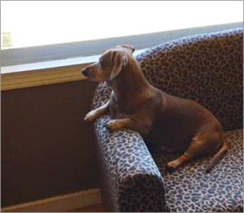 Woody the dachshund